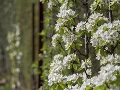 poiriers en fleurs